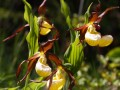 Frauenschuh Cypripedium calceolus