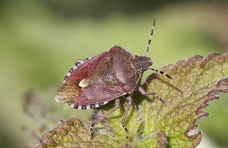 Beerenwanze (Dolycoris baccarum)